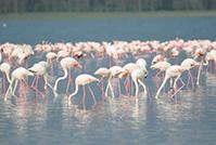 ケニアグレート・リフト・バレーの湖群の生態系