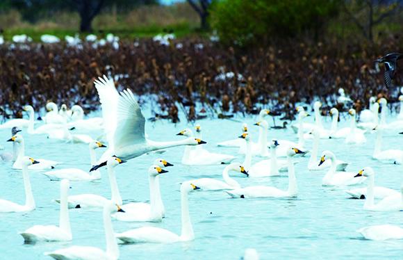 憧れの名旅館 月岡温泉「白玉の湯泉慶」に泊まる!冬のにいがた 白鳥の湖 2日間