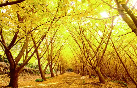 """幻想的な黄金色の世界を求めゆったり""""さんふらわあ""""で 垂水の千本イチョウと西郷どんのふるさと鹿児島 3日間"""
