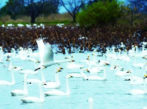 名湯「月岡温泉」白玉の湯 泉慶に泊まる 冬のにいがた白鳥の湖 2日間