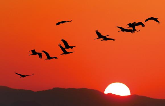朝焼けの大空を舞う優美なツルを鑑賞!