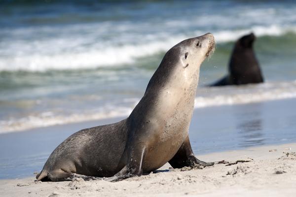 【オーストラリア】カンガルー島 &アデレード&メルボルン 3都市を巡る野生動物ふれあいの旅 6・7・8日