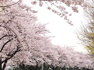 桜のソウルと世界遺産・水原華城