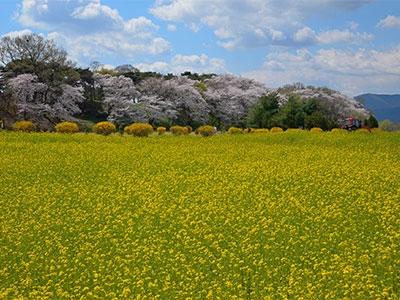 韓国花めぐり桜の鎮海・慶州と菜の花