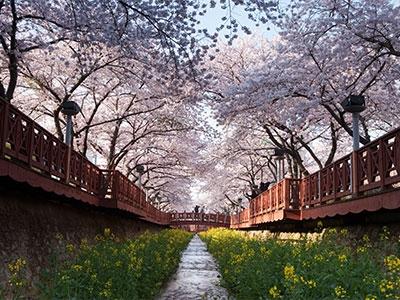 【絶景】鎮海(ちね)の桜