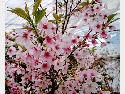 ハーブ園雪見桜イメージ