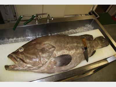 秋から冬にかけて旬を迎える、絶品の高級魚はやはり本クエ
