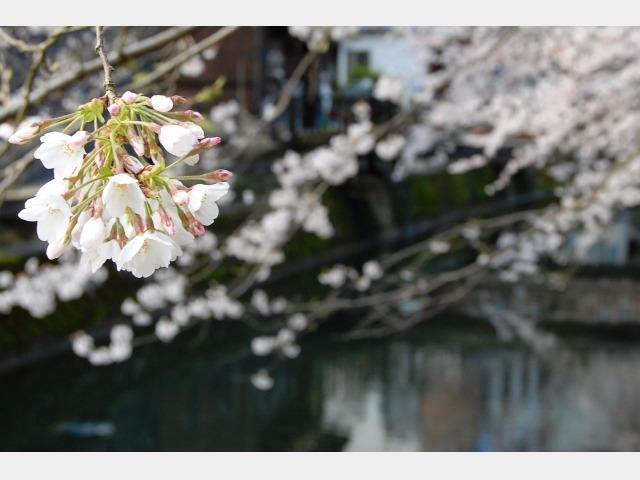 春の桜(温泉街)