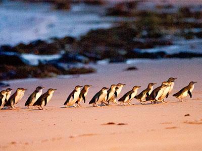 【成田発】カンタス航空往復直行便で行く!メルボルン ペンギンパレード観光付き 往復送迎付き【夏のお買い得!】