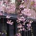 今年は絶対満開の桜を見たい!東北三大桜を見に行くには?