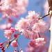 桜のシャワーを浴びに行こう♪ 一生に一度は見たいしだれ桜10選