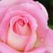 まるでバラの花園♪ 関東のバラの名所6選
