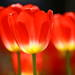 カラフルで春を感じる!まるで外国のような日本全国のチューリップの絶景12選