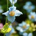 幻の青いケシとは??春から初夏の自然あふれる箱根湿生花園へ♪