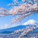 今年の桜はどこへ見に行く?日本全国のおすすめお花見スポット【まとめ】