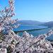 京都府の桜名所が多い秘密とは!?新スタイルの「ずらし花見」「歩き花見」