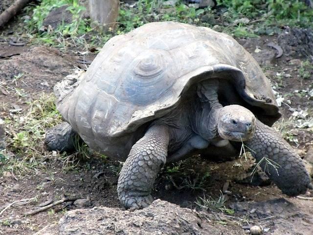 無料の写真: カメ, 巨大な, ガラパゴス, 諸島, エクアドル, シェル, 大 - Pixabayの無料画像 - 163756 (41444)