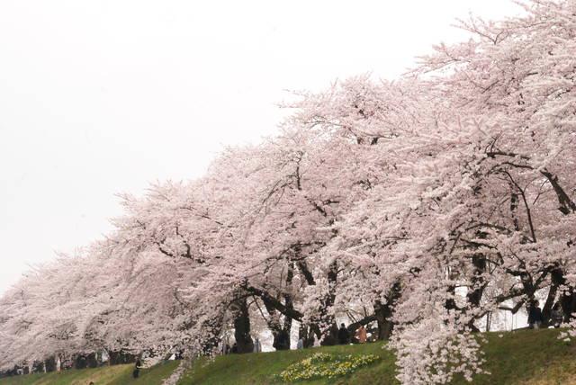 桧内川ソメイヨシノの桜並木