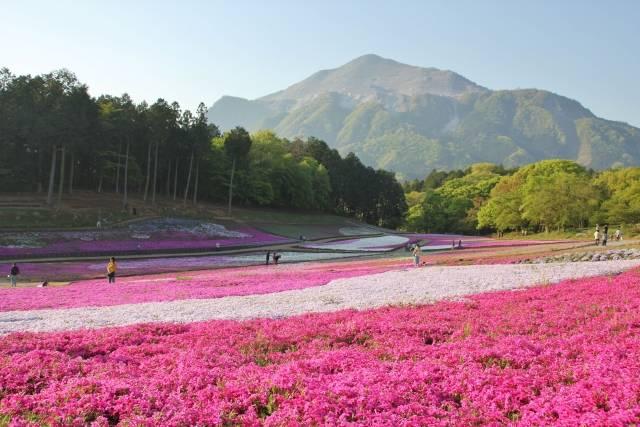 武甲山と羊山公園の芝桜 - No: 1571035|写真素材なら「写真AC」無料(フリー)ダウンロードOK (67175)