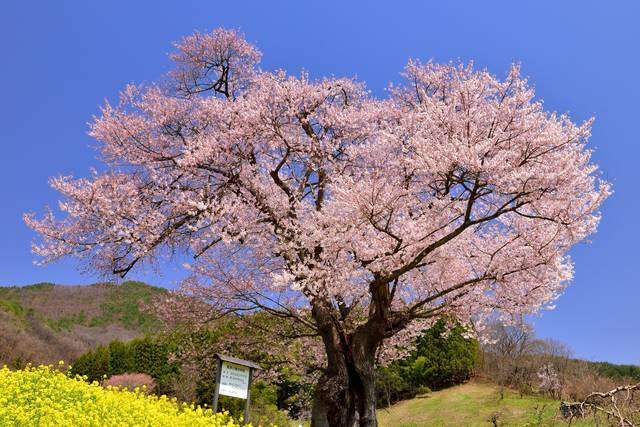貫津の種まき桜