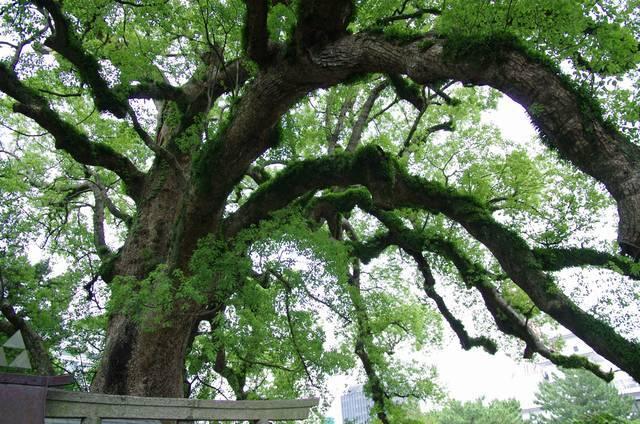 和歌山城の楠の木