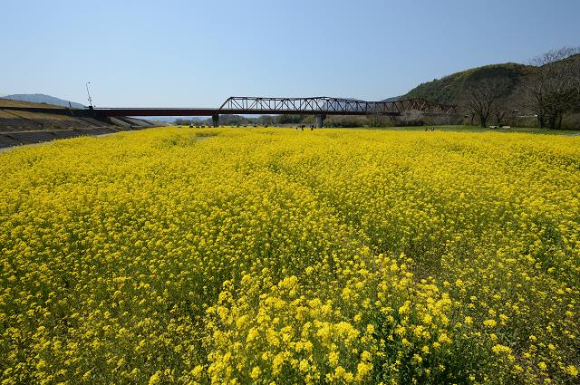 五郎菜の花まつり
