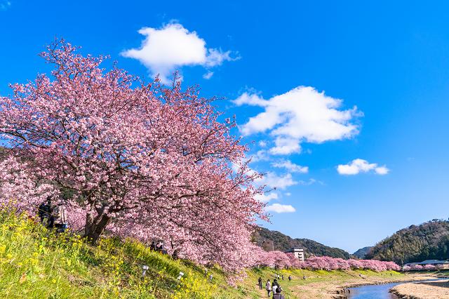 南伊豆町河津桜