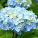 梅雨の時期でも元気に咲く神奈川県のあじさいを見に行こう♪
