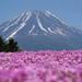 富士山と芝桜の絶景は必見♪ 富士芝桜まつりと周辺モデルコース
