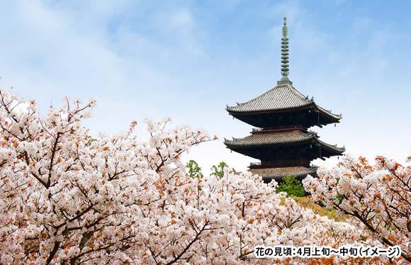 個人では行きにくい京の桜の名所「原谷苑」しだれ桜と世界遺産「仁和寺」の御室桜 日帰り