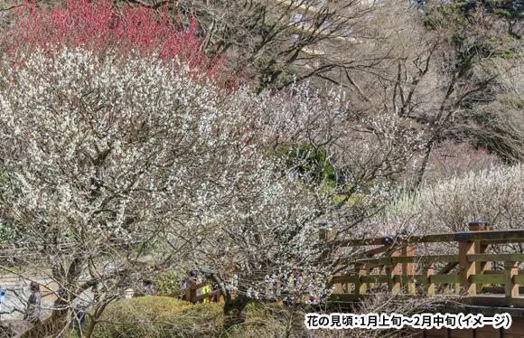 春を先どり!早咲きの熱海梅園梅まつりと伊豆大島の椿まつり 椿フォンデュと絶品海の幸を味わう 3日間