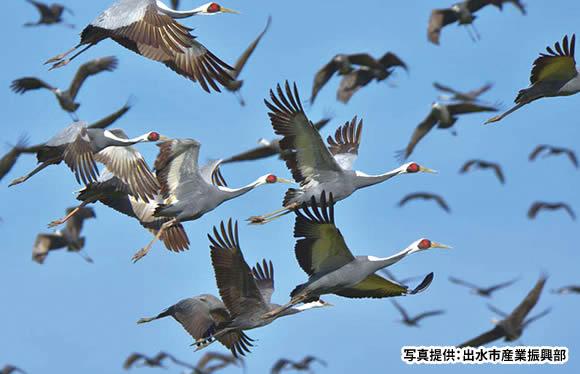 日本一のツルの渡来地・出水 1万羽のツルの乱舞と田園シンフォニー はぴねすトレイン 2日間