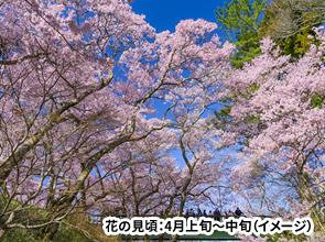 約10日間しか見ることのできない桜と雪を一度に楽しむ 天下第一の桜・タカトオコヒガンザクラと立山黒部アルペンルート 2日間