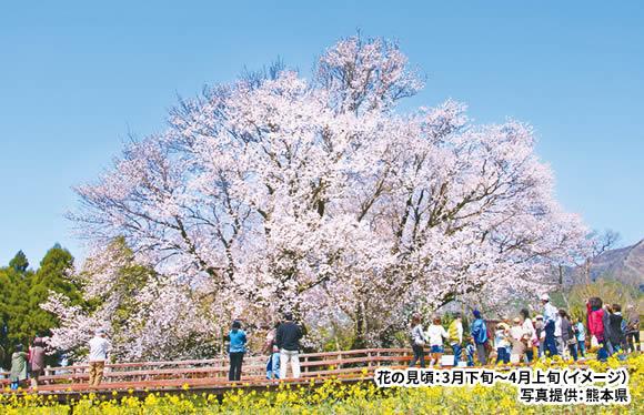 桜の競演 春の別府・阿蘇・柳川と絶品の「関アジ」をたっぷり堪能 2日間