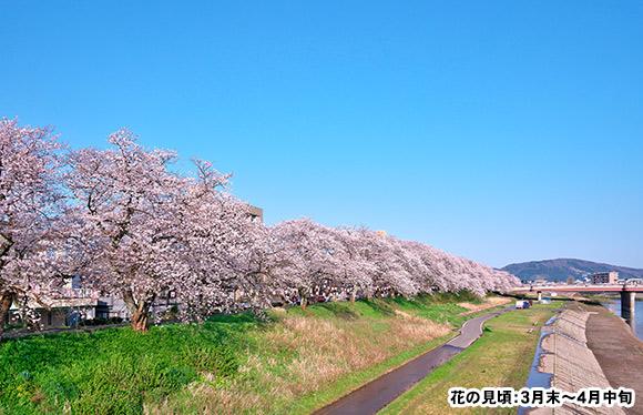 一乗谷朝倉氏遺跡散策と桜のトンネル 足羽川桜並木 日帰り